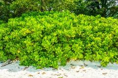 Árbol del veneno de los pescados de mar en la playa de la arena imágenes de archivo libres de regalías