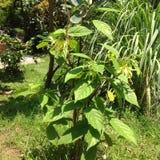 Árbol del Ylang-ylang Foto de archivo