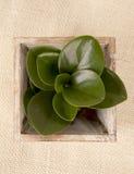Árbol del zamifolia de Zamioculcas Imagen de archivo libre de regalías