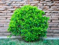 Árbol delante de una pared de ladrillo. Foto de archivo