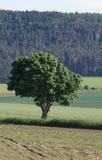 Árbol dentro del paisaje del verano Imagen de archivo libre de regalías
