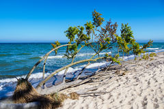 Árbol derrocado en la orilla del mar Báltico fotografía de archivo