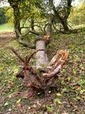 Árbol desarraigado fotos de archivo
