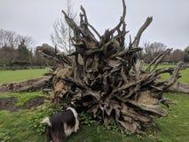 Árbol desarraigado en el santuario Maidstone, Kent, Reino Unido BRITÁNICO de la cabra de los ranúnculos Imagenes de archivo