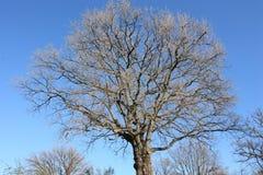 Árbol descubierto contra el cielo azul en invierno fotos de archivo libres de regalías
