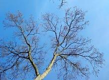 Árbol descubierto del invierno Fotos de archivo