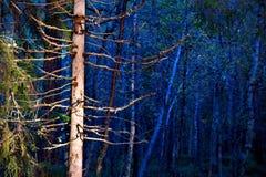 Árbol descubierto en bosque azul Imagen de archivo