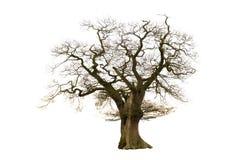 Árbol descubierto viejo Fotografía de archivo