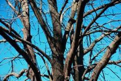 Árbol deshojado Imagen de archivo