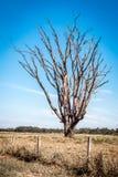 Árbol deshojado, el Brasil Fotografía de archivo libre de regalías