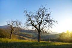 Árbol deshojado en el prado con la montaña y el resplandor de la mañana imagen de archivo