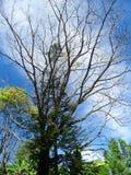 Árbol deshojado en verano debajo de las nubes blancas en cielo azul Fotografía de archivo libre de regalías