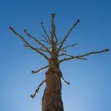 Árbol deshojado extraño en cielo azul foto de archivo libre de regalías