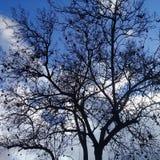 Árbol desnudo con el ámbar negro debajo del cielo azul claro Foto de archivo libre de regalías