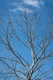 Árbol desnudo contra el cielo azul hermoso Foto de archivo libre de regalías