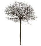 Árbol desnudo en blanco Fotos de archivo libres de regalías