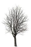 Árbol desnudo en blanco Imagenes de archivo