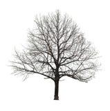 Árbol desnudo en blanco Foto de archivo