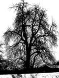Árbol desnudo poderoso en blanco y negro Imagen de archivo libre de regalías