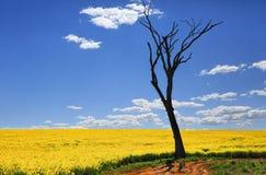 Árbol desnudo y canola de oro en sol de la primavera Imagenes de archivo