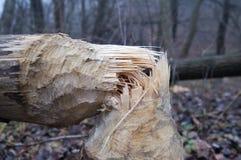 Árbol después del trabajo del castor Fotografía de archivo