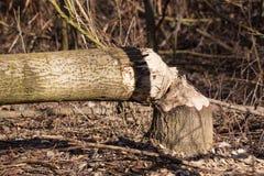 Árbol destruido Fotografía de archivo libre de regalías