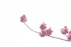 Árbol doble floreciente de la flor de cerezo Foto de archivo libre de regalías