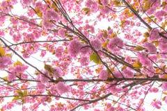 Árbol doble floreciente de la flor de cerezo Fotografía de archivo libre de regalías