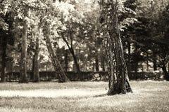 Árbol dramático del parque con el fondo ligero del escape Imagen de archivo