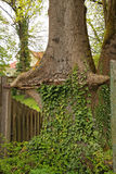 Árbol e hiedra Foto de archivo libre de regalías