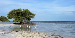 Árbol e Ibises del mangle Fotos de archivo