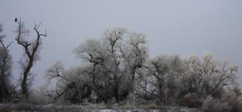 Árbol Eagle Roost del invierno Fotografía de archivo libre de regalías