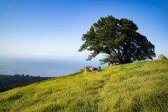 Árbol el la primavera del Mt Tamalpais Fotos de archivo libres de regalías