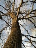 Árbol elevado Fotos de archivo