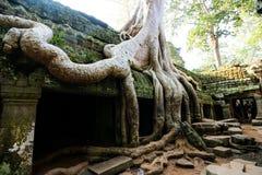 Árbol en Angkor Fotografía de archivo