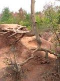 Árbol en arenas rojas Imagen de archivo libre de regalías