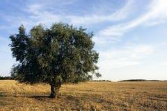 Árbol en campo de grano Fotos de archivo libres de regalías