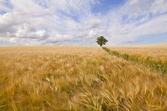 Árbol en campo de la cebada Imagen de archivo libre de regalías
