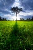 Árbol en campo del arroz Fotografía de archivo libre de regalías