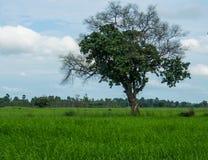 Árbol en campo del arroz Fotografía de archivo