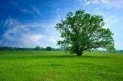 Árbol en campo verde Imágenes de archivo libres de regalías