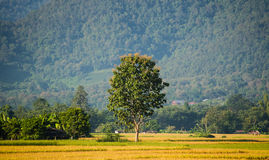 Árbol en campo verde del arroz Imagen de archivo