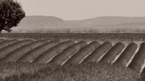 Árbol en campos de la lavanda, Francia almacen de metraje de vídeo
