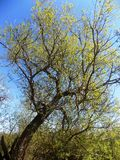 Árbol en Crookham, Northumberland, Inglaterra imagen de archivo