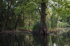Árbol en el agua Imagen de archivo libre de regalías