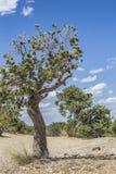 árbol en el barranco del águila, Utah Fotos de archivo