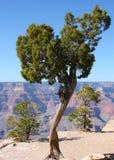 Árbol en el borde de la barranca magnífica en Arizona Imagen de archivo
