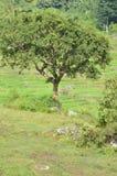 Árbol en el campo de arroz imágenes de archivo libres de regalías