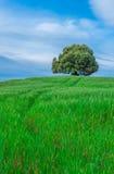 Árbol en el campo verde Fotografía de archivo