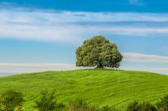 Árbol en el campo verde Imágenes de archivo libres de regalías